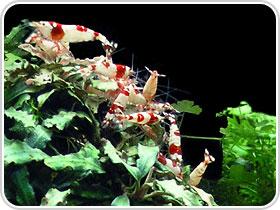 RSS Krewetki - Red Bee krasnolud krewetki